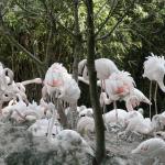 Record di uova per i fenicotteri rosa del Parco natura viva: sono 50